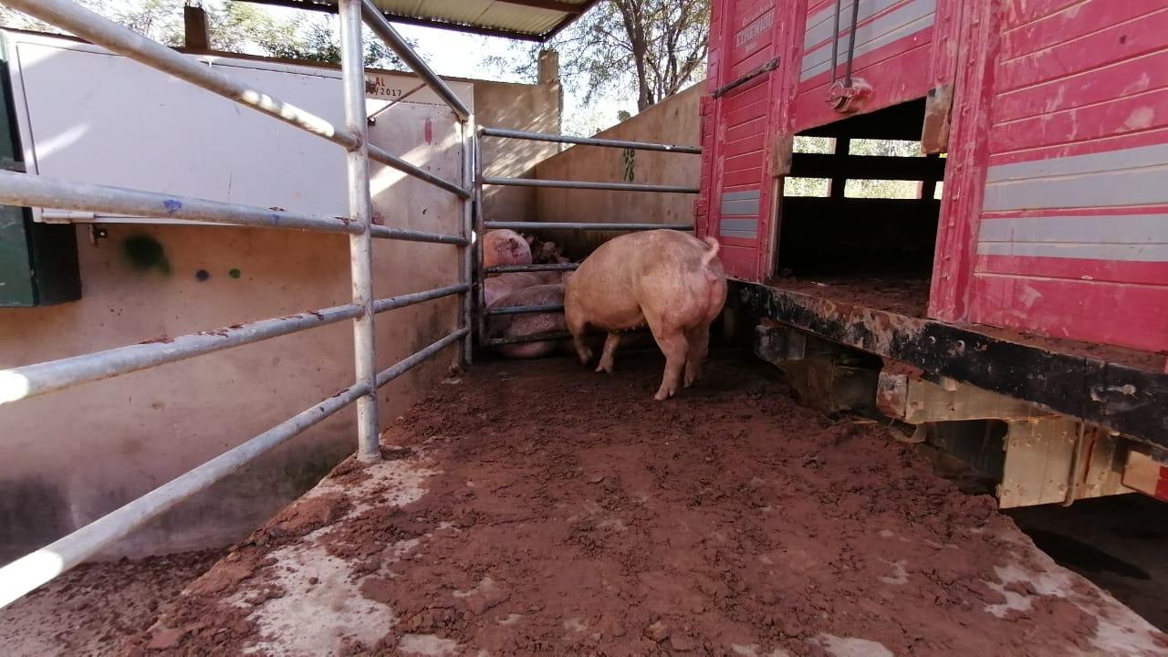 """""""Don Paco"""" dona carne de cerdo a la Alcaldía para familias necesitadasde Tarija"""